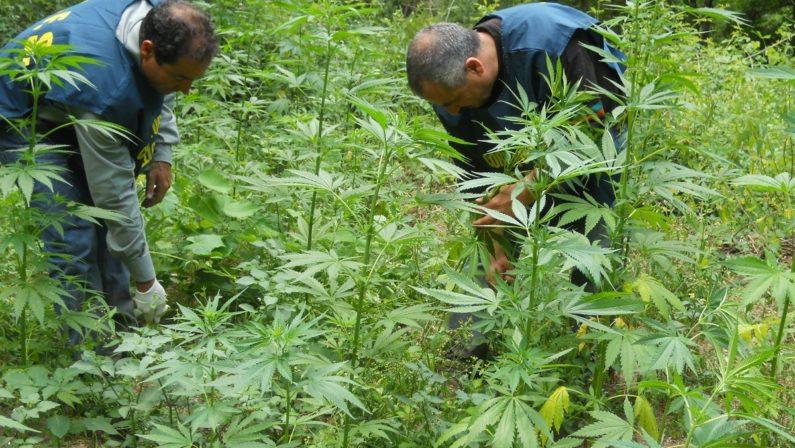 Sequestrati oltre 220 chili di cannabis nel RegginoLa piantagione avrebbe fruttato 320 mila euro