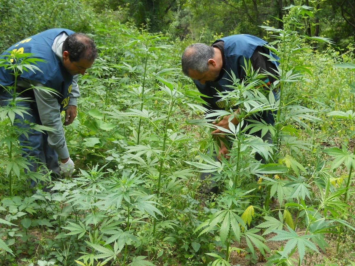 Piantagione di canapa scoperta nel ViboneseUn centinaio di arbusti in una zona inaccessibile