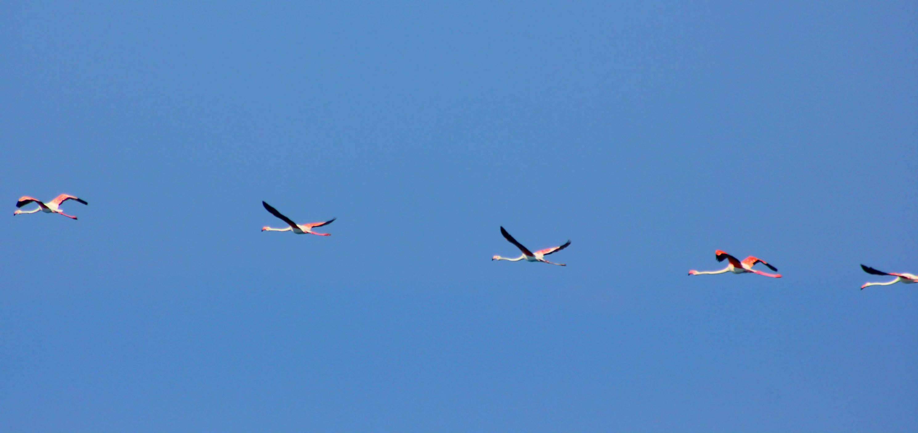 Le foto del volo dei fenicotteri rosa sul Tirreno in Calabria
