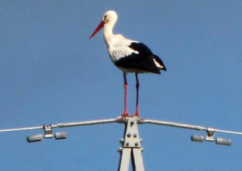 Esemplare di cicogna bianca uccisa nel suo nidoLa Lipu denuncia il caso avvenuto nel Cosentino