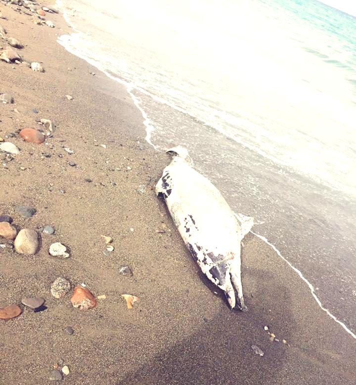 Delfino morto rinvenuto sulla spiaggia a Rossano