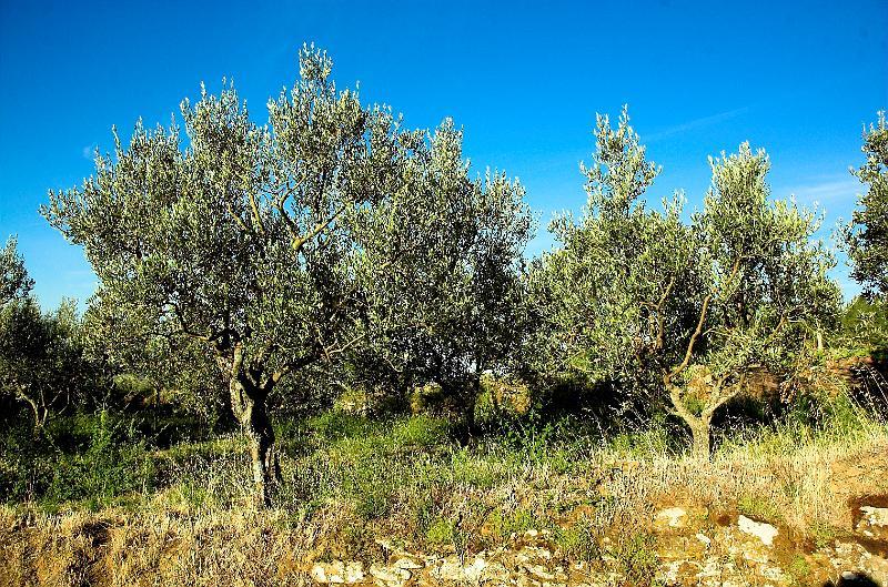 Scoppia l'emergenza Xylella, a rischio la CalabriaPreoccupazione per gli ulivi, batterio si espande