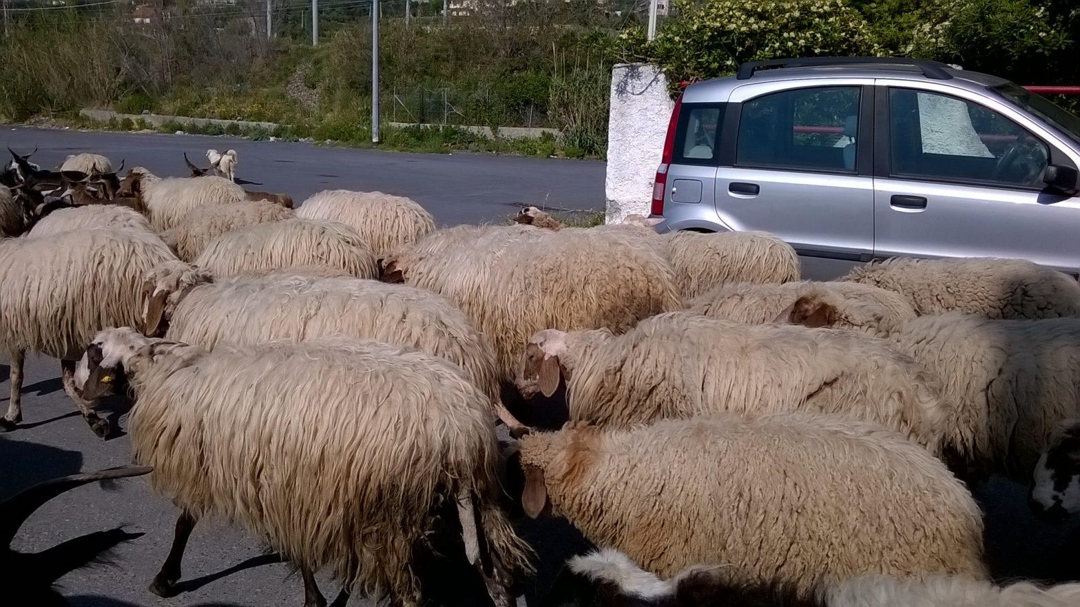 Bestiame al pascolo in un cimitero del RegginoDenunciati due fratelli e sequestrati gli animali