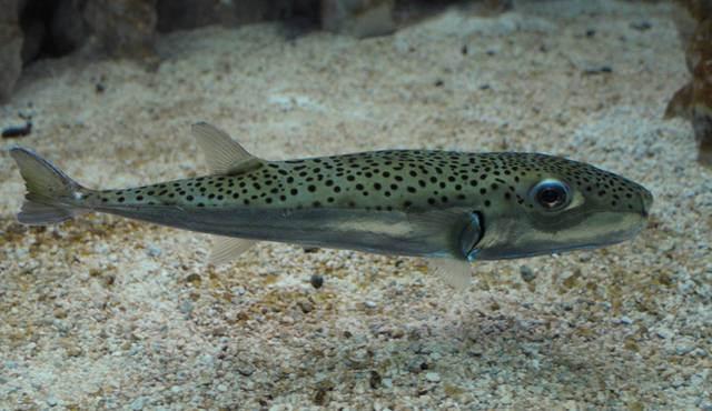 Scatta l'allarme nei mari calabresi: pesce killernelle reti dei pescatori. E' tossico per l'uomo