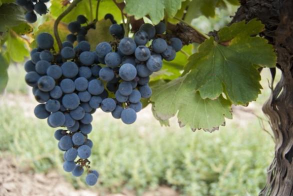 Coldiretti Avellino, vendemmia verde opportunità per i viticoltori