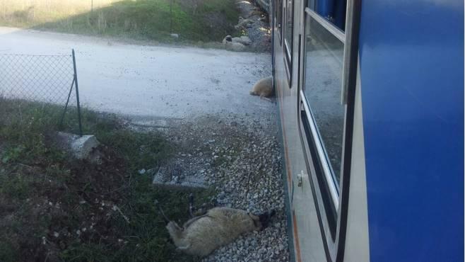 Treno travolge gregge di pecore: un centinaio di animali morti