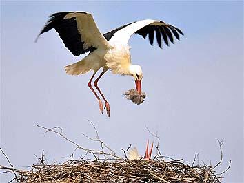L'emozione di scoprire i nidi delle cicogne  Iniziative della Lipu nel Cosentino e nel Crotonese