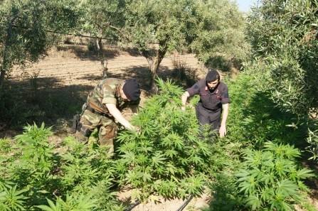 Due piantagioni sequestrate in poche ore nel RegginoIn tutto trovate 245 piante di cannabis, due arresti
