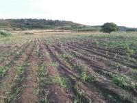 Rubati cinquanta quintali di cipolle rosseNuovo colpo contro coop Goel nel Vibonese