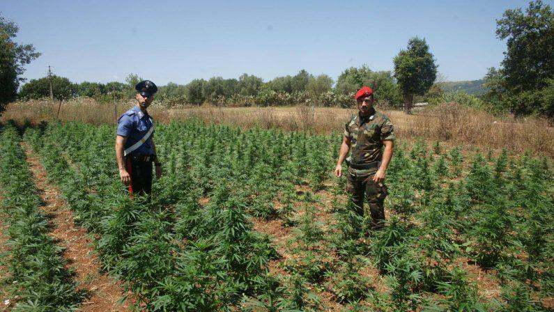 Piantagione di canapa con 230 arbusti nel CosentinoUomo tenta la fuga nel fiume ma viene arrestato