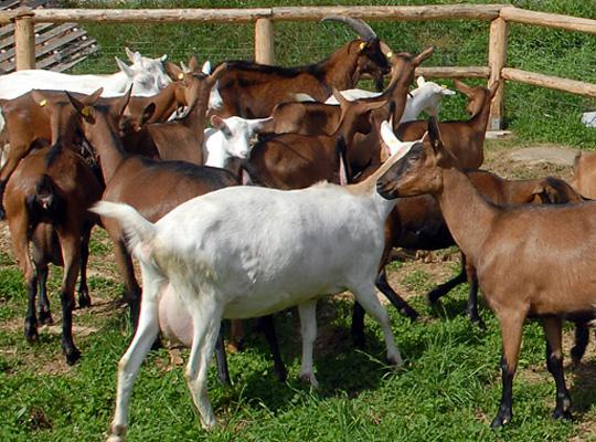 Diversi capi di bestiame senza codice identificativoSequestrato allevamento ovini e caprini nel Vibonese