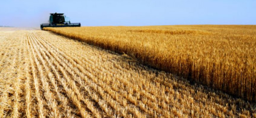 Allarme Confagricoltura Basilicata sul grano duroIl prezzo è troppo basso, produzione a rischio