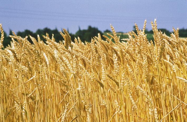 Agricoltura in ginocchio per il frumento importato  Cia annuncia lo sciopero della semina in Calabria