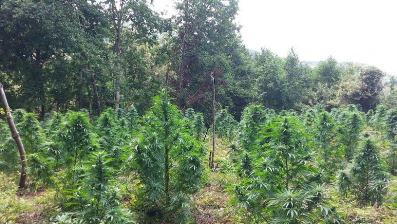 Sorpreso a coltivare 300 piante di canapaCarabinieri arrestano un uomo nel Reggino