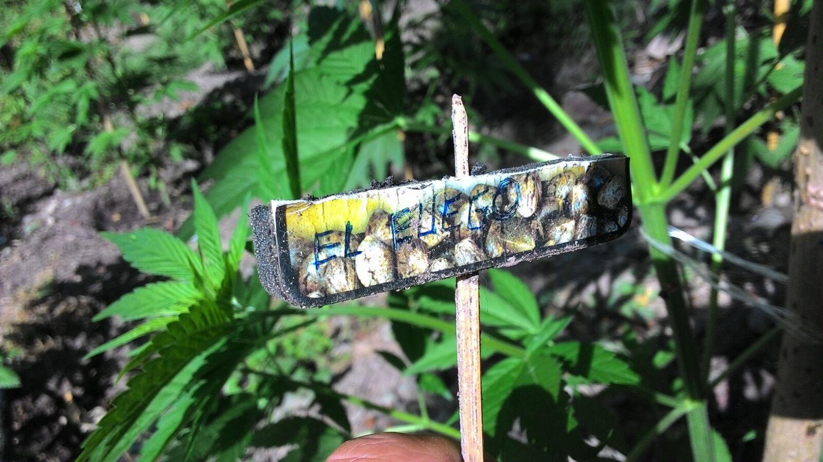 FOTO - Maxi piantagione di marijuana scoperta dalla Guardia di Finanza sulla montagna di Cetraro