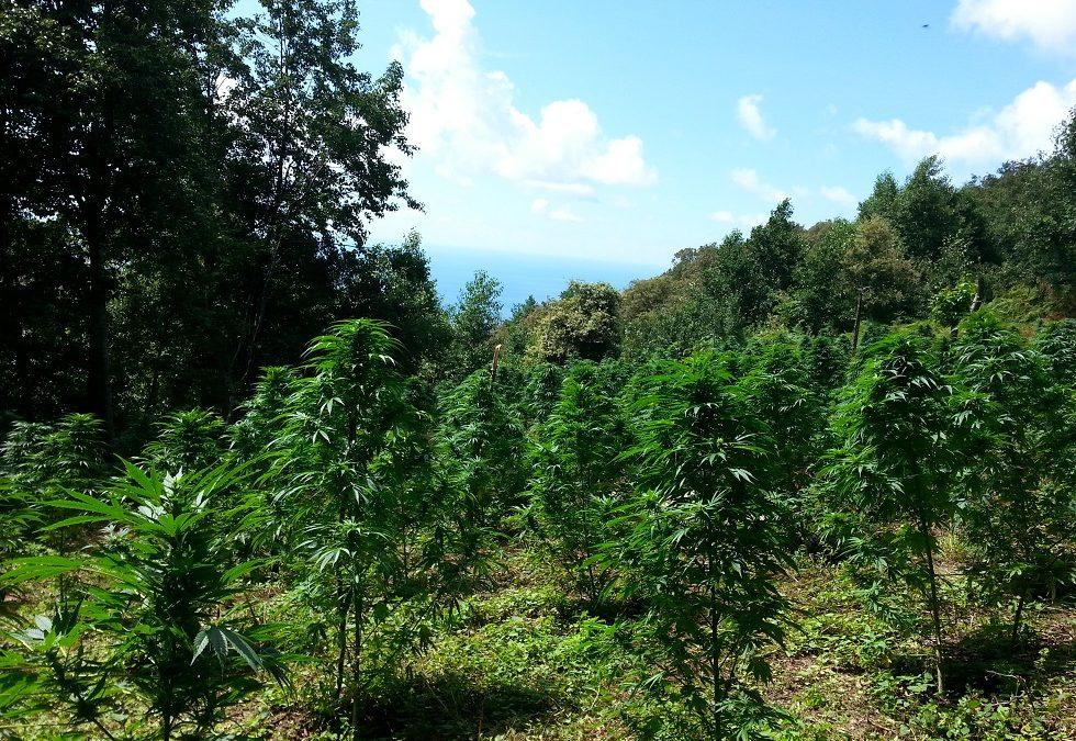 Coltivava quasi mille piante di marijuana nel Reggino  utilizzando un'area demaniale, arrestato un uomo