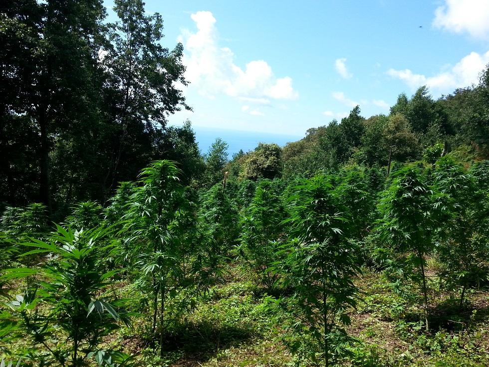 Crotone, scoperta una piantagione di canapa indianaSequestrate e distrutte numerose piante già mature