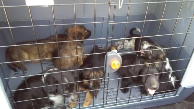 Avellino, abbandonati sette cuccioli di cane salvati dalla Gadit