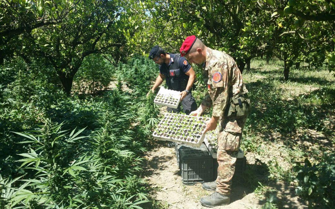 Una piantagione di marijuana