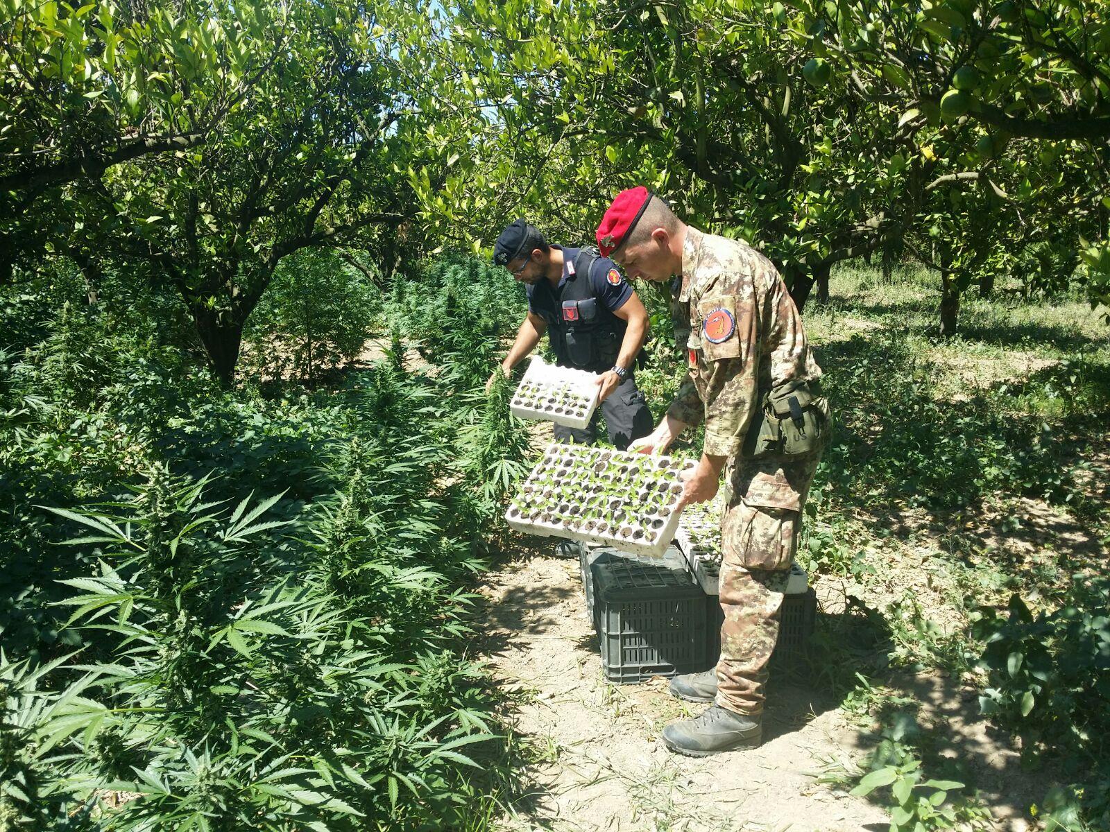 I carabinieri intervengono per un incendioe scoprono piantagione di marijuana nel Cosentino