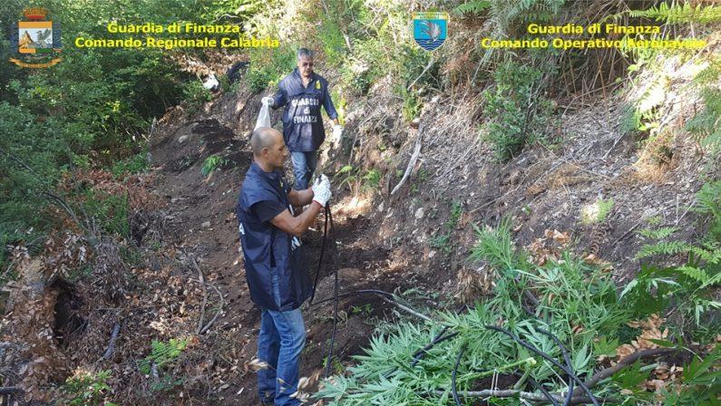 Migliaia di piante di canapa scoperte dalla Finanza  Oltre 2.650 arbusti nella Locride e nel Vibonese