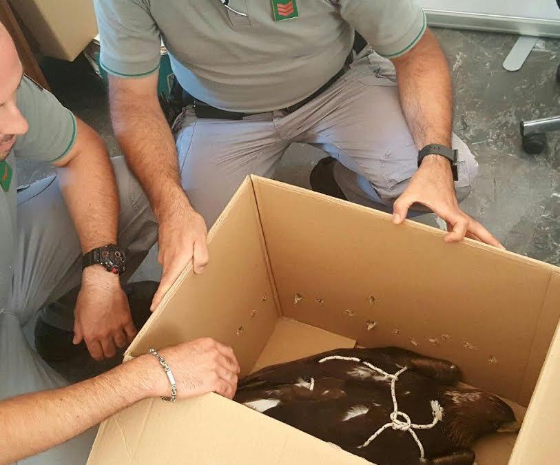 Aquila reale recuperata dal Corpo Forestale dello Stato in provincia di Cosenza: aveva difficoltà a volare