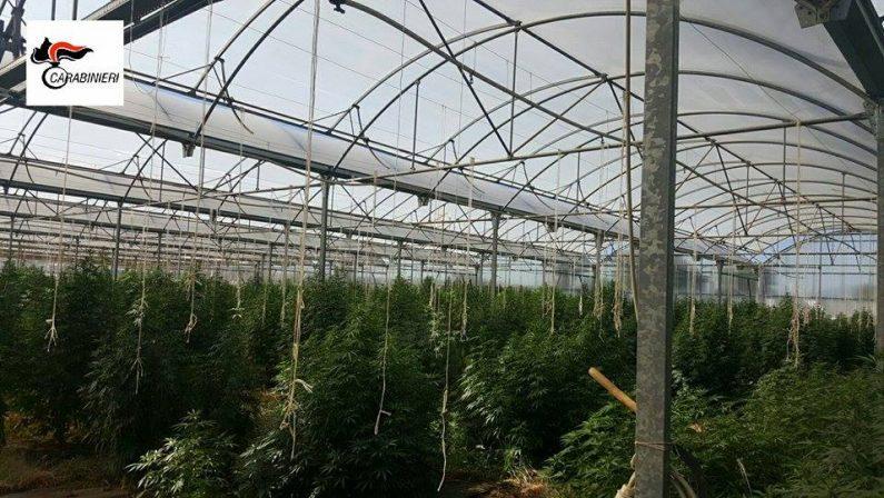 Una serra coltivata a cannabis scoperta in provincia di Cosenza: una denuncia