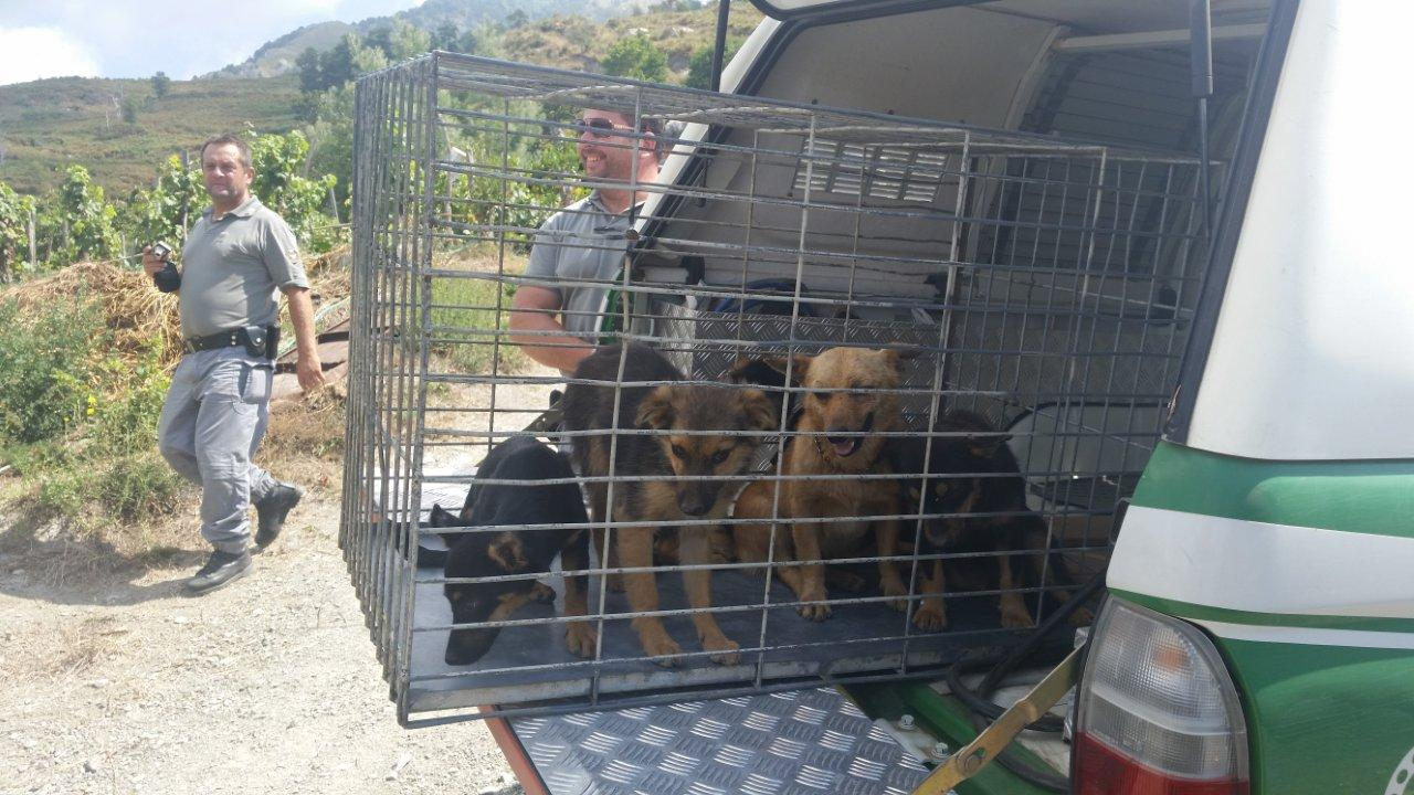 Scoperto allevatore che maltrattava gli animaliAnche cani malnutriti, sanzionato nel Cosentino