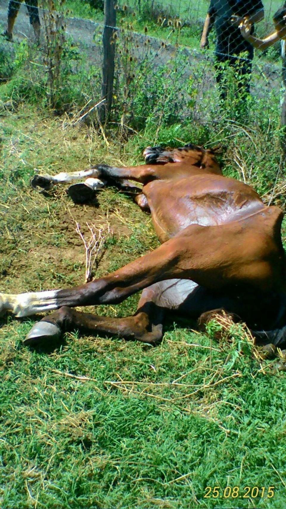 Agropoli, cavallo legato ad albero muore di stenti: si cerca il proprietario