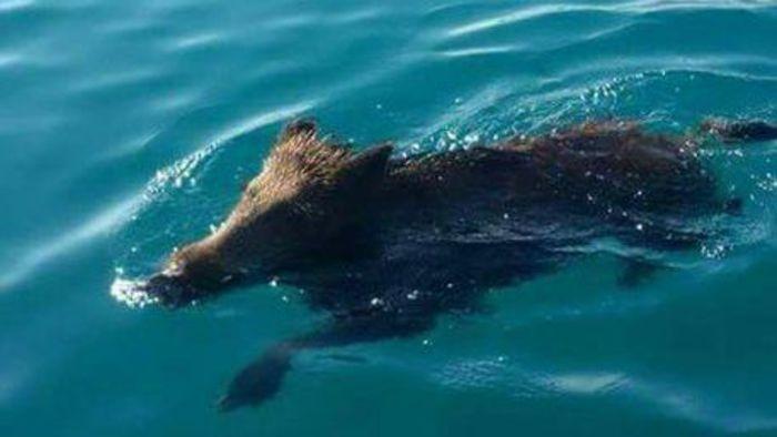 Un cinghiale nel mare di Copanello, nel Catanzarese, in mezzo ai turisti: l'allarme di Coldiretti