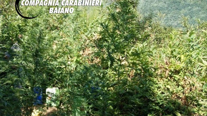 Ancora coltivazione di droga in Irpinia: i Carabinieri scoprono 15 piantagioni