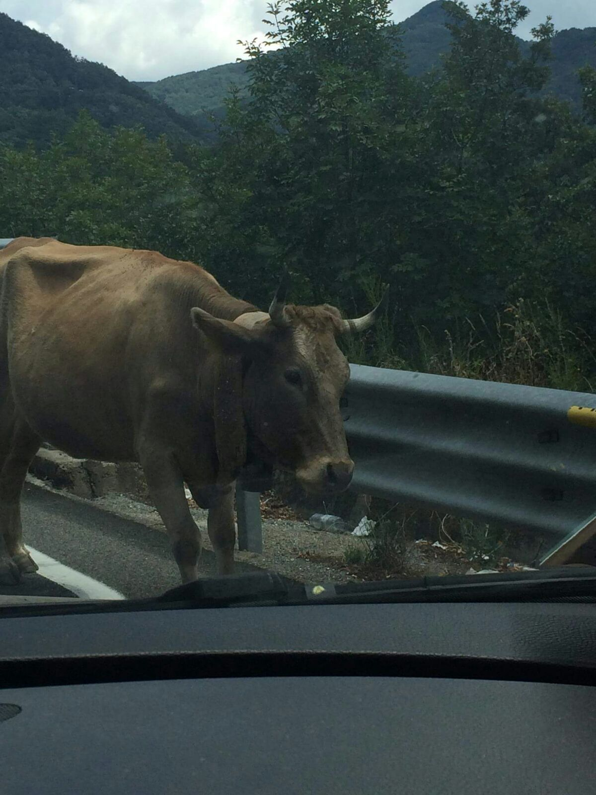 """FOTO – Mucche """"in viaggio"""" sulla statale 107 Silana  Pericolo e paura per gli automobilisti nel Cosentino"""