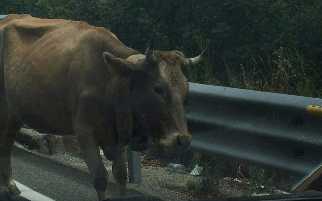 LA FOTONOTIZIA – Mucca a passeggio in galleria  Paura e incredulità sulla statale 107 nel Cosentino