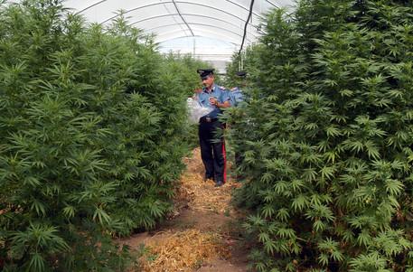 Scoperta a Napoli coltivazione di cannabis tra la frutta