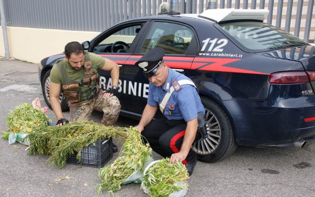 Piantagione di canapa in casa protetta da pitbull  Arrestato a Crotone con 12 chili di marijuana
