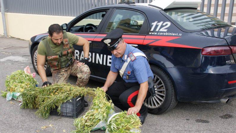 Piantagione di canapa in casa protetta da pitbullArrestato a Crotone con 12 chili di marijuana