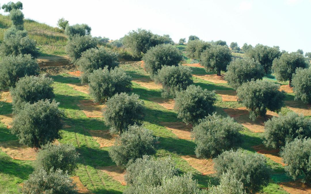 Agricoltura, crolla la produzione di olio d'oliva  Campagna chiude in anticipo in Calabria: fino a -90%