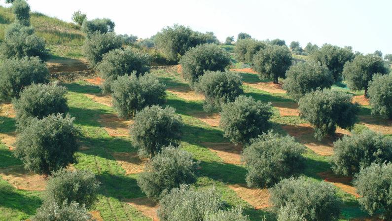 Crolla il raccolto e vola il prezzo dell'olio di olivaLa produzione regge solo in Calabria ma è crisi