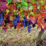 uva vino aglianico del vulture.jpg