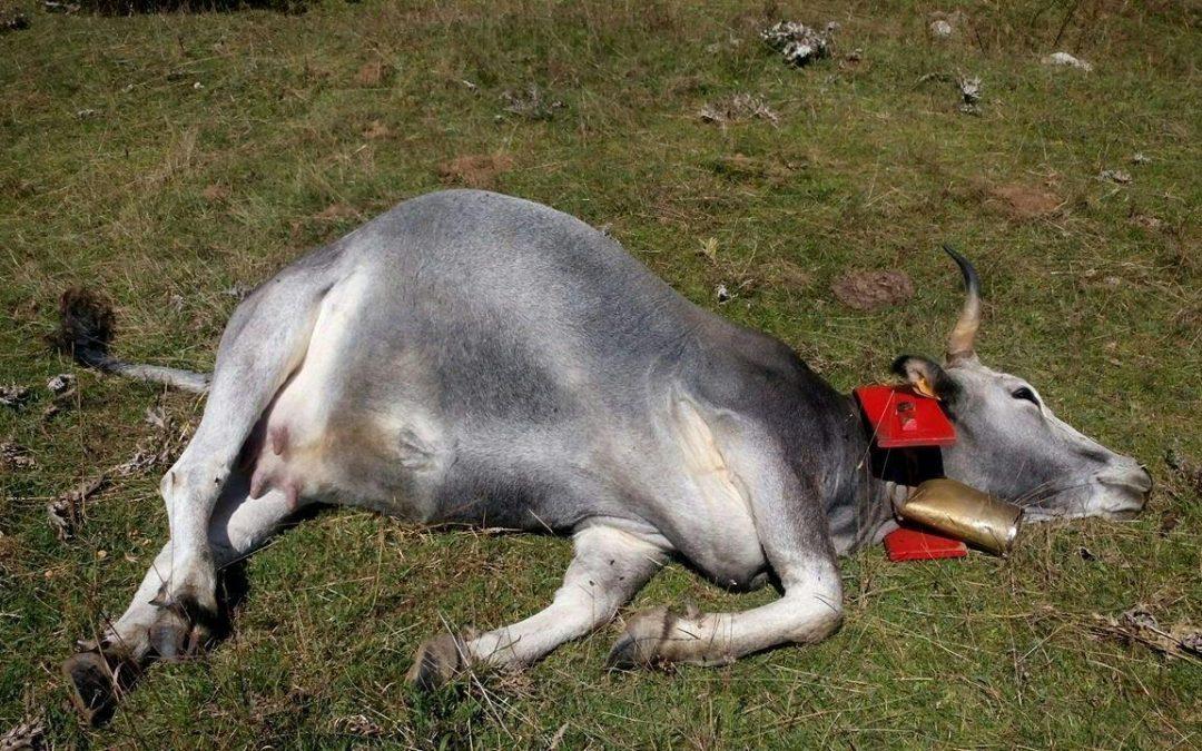 FOTO – Sparano a mucche mentre sono al pascolo sulla Sila catanzarese: cinque morte e cinque ferite