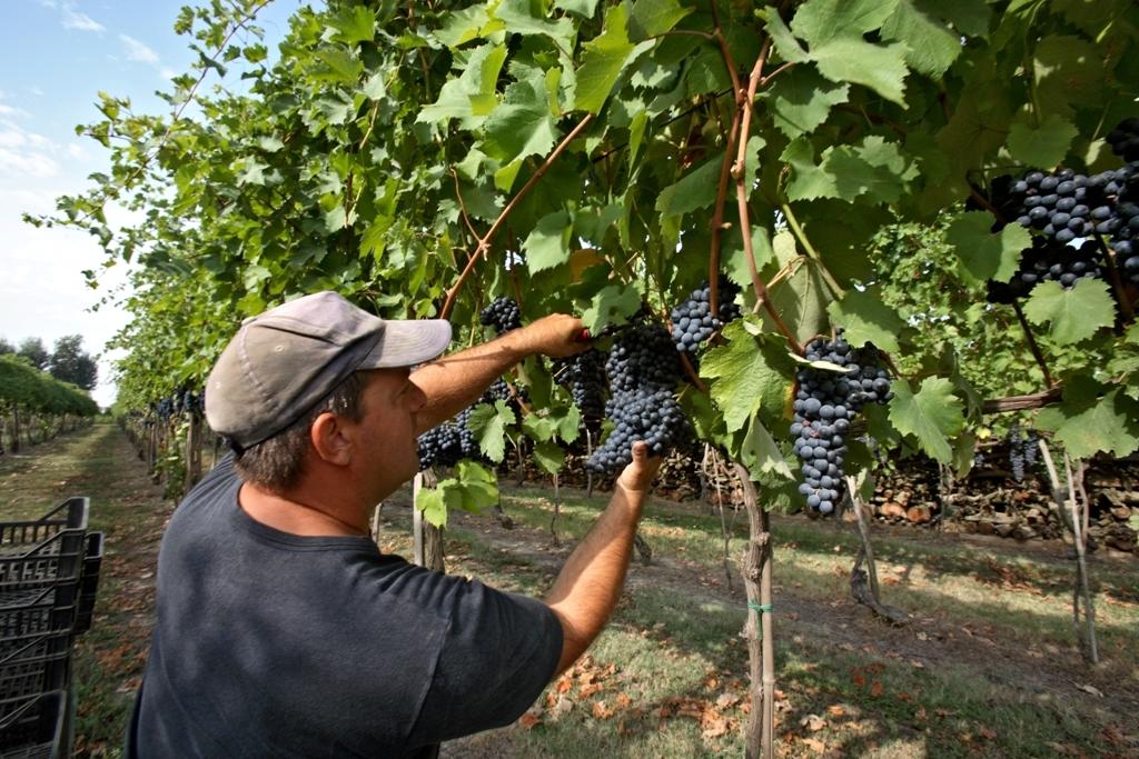 Vino, iniziata la vendemmia delle uve biancheIn Calabria prevista una«annata straordinaria»
