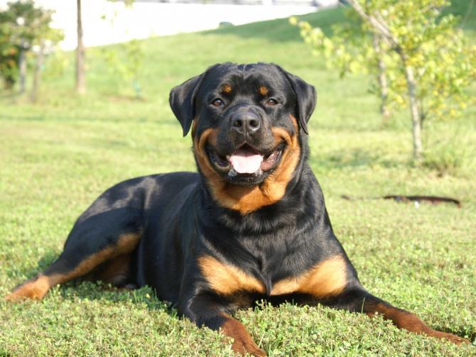 Rottweiler azzanna un giovane nel CosentinoFerito il ragazzo, denunciata proprietaria del cane