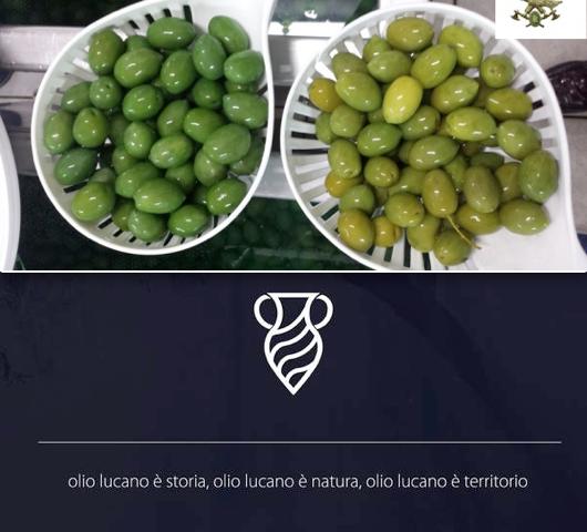 Così la Basilicata si protegge dalle olive verniciate. L'allarme del Corpo forestale