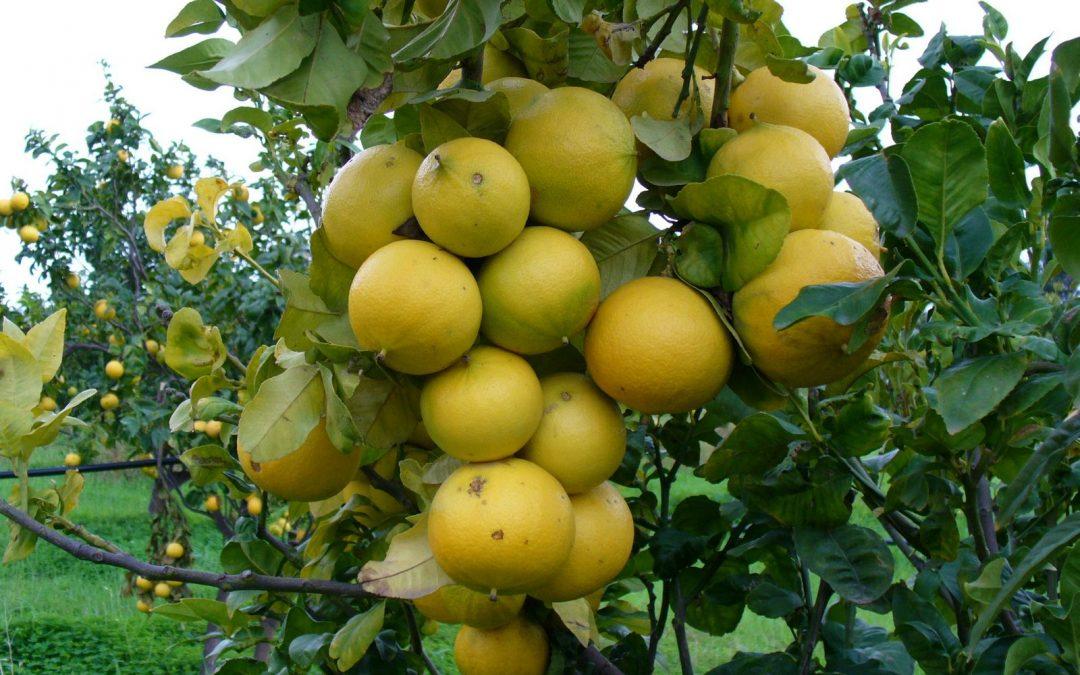Una pianta di bergamotto