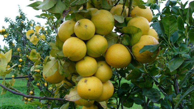 Linea Verde a Reggio Calabria alla riscoperta del bergamotto e la crisi del clementino