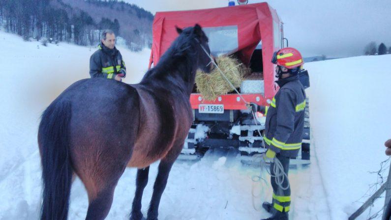 I vigili del fuoco salvano il cavallo intrappolato  Da giorni era bloccato tra la neve in Sila
