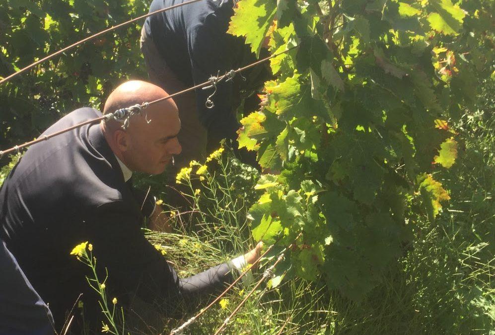 L'assessore regionale alle Politiche agricole Luca Braia in una vigna lucana