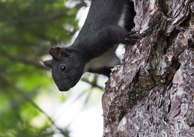 Scoperto lo «scoiattolo meridionale» tra Basilicata e Calabria: specie a rischio studiata da università e musei