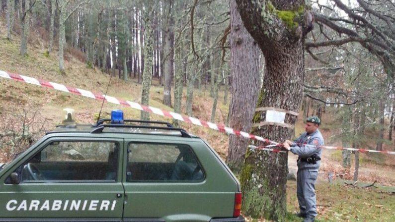 Tagliate abusivamente oltre 3mila piante per un milione di euroSequestrati dalla Forestale 500 mila metri quadri di bosco