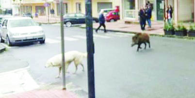 """Un cinghiale e un cane """"passeggiano"""" sul corso principale di Amantea"""